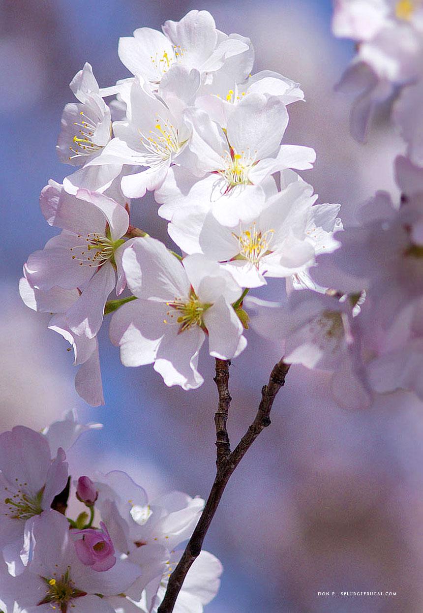 ABQ BioPark Botanic Garden Cherry Blossoms