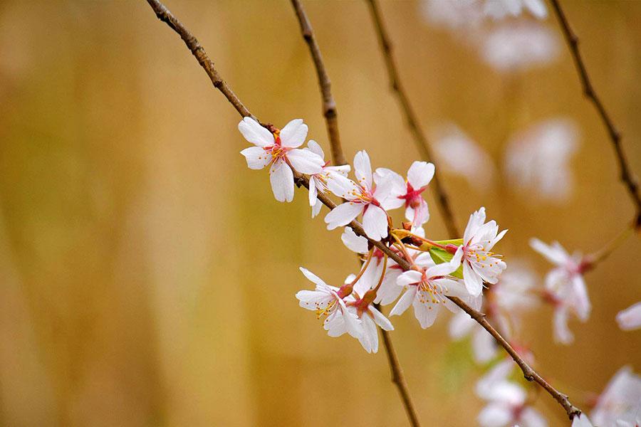 Cherry Blossom Wallpaper #7