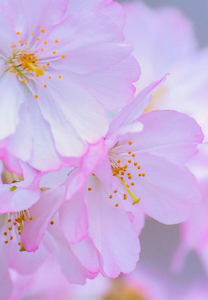 Cherry Blossom Wallpaper, Branch Brook Park, Newark, NJ
