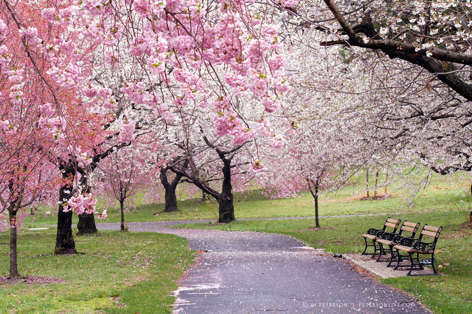 Branch Brook Park, Cherry Blossom Trees